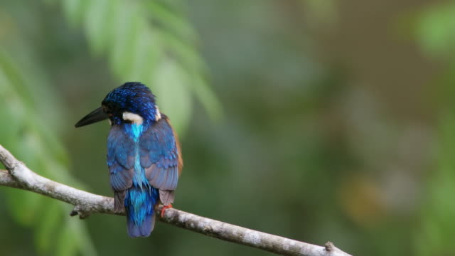 video close up of blue-eared kingfisher (alcedo meninting) in the rain (4k) - animal ear stock videos & royalty-free footage
