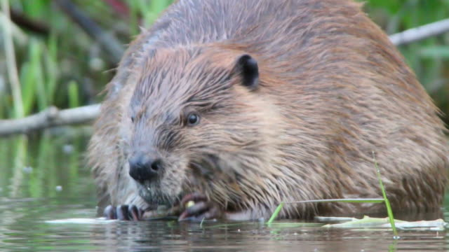 hd video close-up large wild colorado beaver eating - beaver stock videos & royalty-free footage