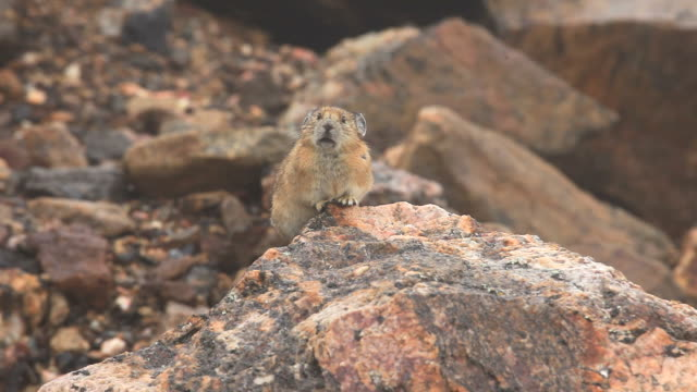 HD video Colorado chirping pika