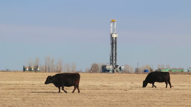 hd video colorado cows graze fields near oil fracking drill rig - drilling rig stock videos and b-roll footage
