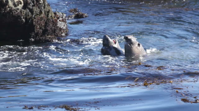 stockvideo's en b-roll-footage met hd video elephant seals sparring piedras blancas rookery california - zeeolifant