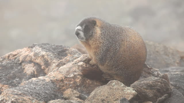 HD video foggy yellow bellied marmot Colorado