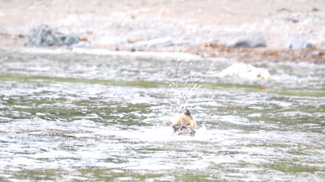video footage from the unesco world natural heritage site of shiretoko, hokkaido, shows a brown bear walking along the area's rocky seashore,... - kelp stock videos & royalty-free footage