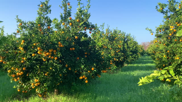 4k video footage of oranges growing on tree orchard - citrus fruit stock videos & royalty-free footage