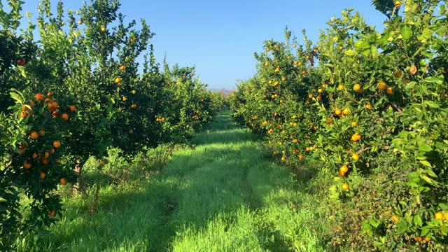 木の果樹園に成長するオレンジの4kビデオ映像 - オレンジの木点の映像素材/bロール
