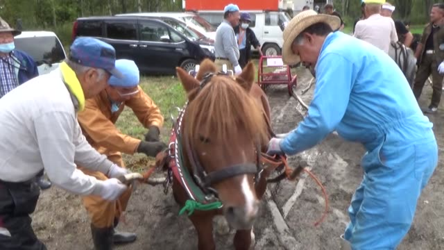 video footage shows draft ponies pulling weighted sleds during a race testing their strength and speed held on oct. 4 in asahikawa in hokkaido.... - asahikawa stock videos & royalty-free footage