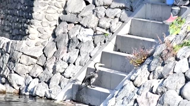 """stockvideo's en b-roll-footage met video footage shows trained """"umiu"""" cormorants many on the loose scooping up fish and bringing the catch back when keepers call from the shore of... - cormorant"""