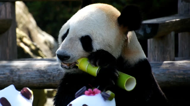 vidéos et rushes de video footage taken at the adventure world zoo and theme park in shirahama wakayama prefecture on june 16 father's days shows giant panda eimei... - panda
