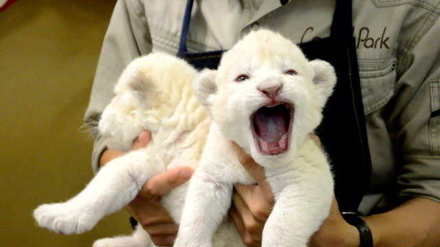 video footage taken at the himeji central park in himeji prefecture shows keepers feeding and burping two white lion cubs that were born at the... - safari animals stock videos & royalty-free footage