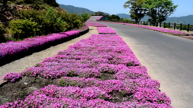 "video footage taken at the sora no tenbojo park in saiki oita prefecture shows ""shibazakura"" moss phlox carpeting both sides of the road leading up... - oita city stock videos & royalty-free footage"