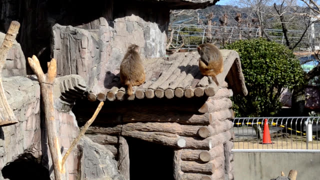 vidéos et rushes de video footage taken at tokuyama zoo in shunan yamaguchi prefecture on jan 27 shows pigeons swooping into facility's rhesus monkey enclosure to snap... - aménagement de l'espace