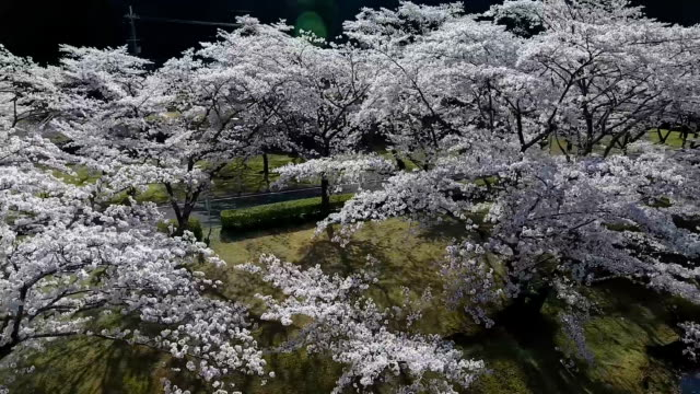 video footage taken by aerial drone shows cherry trees in blossom surrounding a lake located in the village of shimokitayama nara prefecture the... - nara prefecture stock videos and b-roll footage