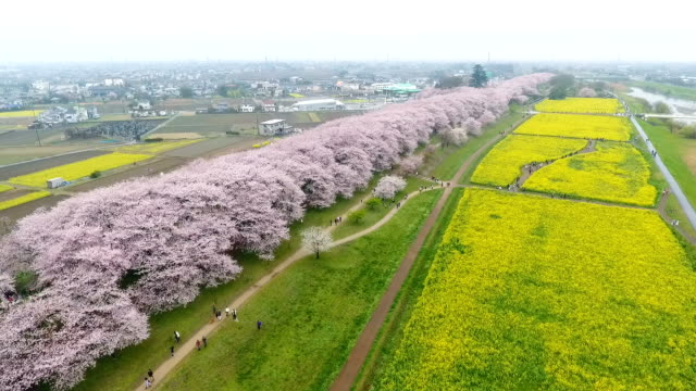 video footage taken from a drone on april 8 japan gives a bird's eye view of spring in full bloom at gongendo park in satte saitama prefecture where... - saitama prefecture stock videos & royalty-free footage