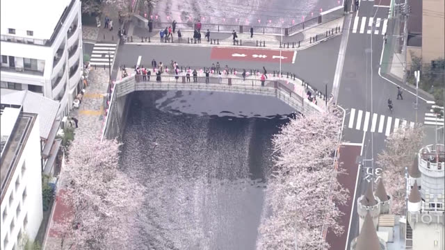 """video footage taken from a helicopter hovering above tokyo shows waterways in metropolis turned pink by fallen """"sakura"""" cherry blossoms as the flower... - blossom stock videos & royalty-free footage"""