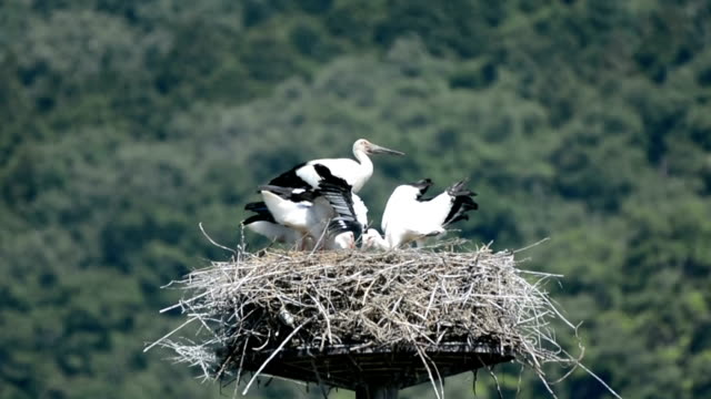 "Video footage taken in a rural area of Toyooka Hyogo Prefecture shows a small brood of ""konotori"" oriental storks that have taken up residence on top..."