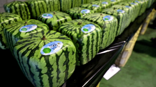 Video footage taken in an agricultural storehouse in Zentsuji Kagawa Prefecture,shows about 270 square watermelons lined up in rows to be inspected...