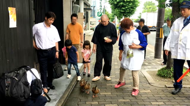 video footage taken in kyoto on june 11 shows four ducklings waddling from a temple in sakyo ward to the kamogawa river under the protective guard of... - waddling stock videos and b-roll footage