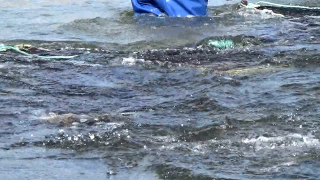 Video footage taken in Naraha Fukushima Prefecture shows local fishermen working together to net salmon heading up the shallow waters of the Kidogawa...