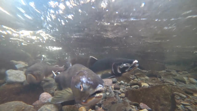 video footage taken in rausu in hokkaido on sept. 19 shows schools of pink salmon making their annual swim upstream which continues from mid-august... - freshwater stock videos & royalty-free footage