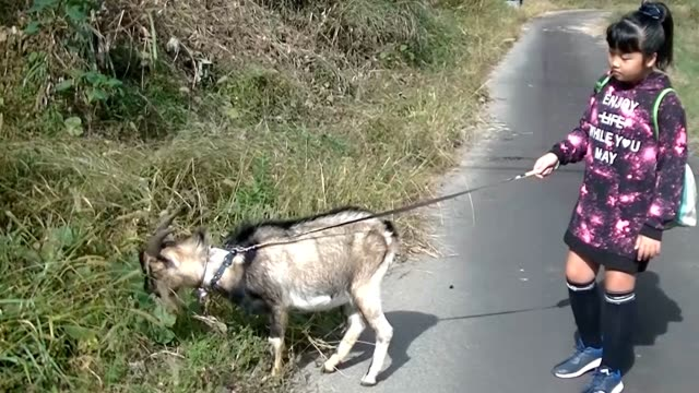 stockvideo's en b-roll-footage met video footage taken in rural shimanto kochi prefecture shows the unusual sight of mikaze hayashi walking her pet goat chacha to a local bridge the... - human interest