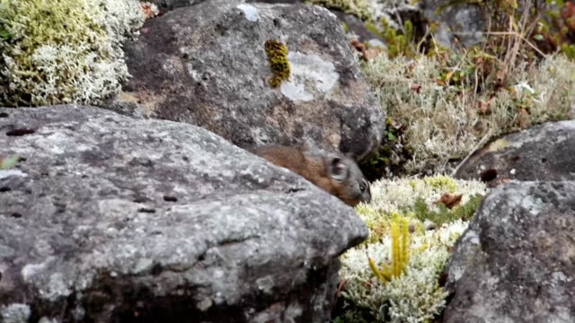 "video footage taken in shikaoi hokkaido shows a japanese pika known as ""ezonakiusagi"" scampering around to stock up for the winter months considered... - 生存点の映像素材/bロール"