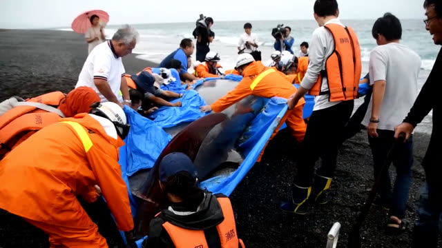 video footage taken in shizuoka shows firemen, coast guard members and local residents trying to push a beached whale back into the ocean on sept.... - pushing点の映像素材/bロール
