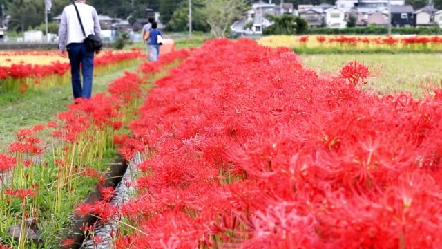 """video footage taken near anaoji temple in kameoka, kyoto prefecture, shows """"higanbana"""" flowering in vivid contrast to fields of golden rice being... - day lily stock videos & royalty-free footage"""