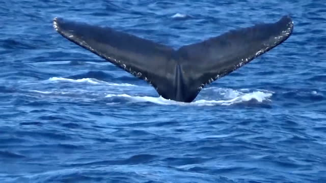 video footage taken near chichijima island about 1000 kilometers south of tokyo shows humpback whales swimming and divers setting up underwater... - chain点の映像素材/bロール