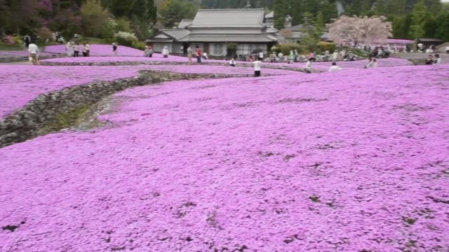 video footage taken on april 22 at the hano no jutan park in sanda hyogo prefecture shows visitors strolling through a vibrant tapestry made up of... - temperate flower stock videos and b-roll footage