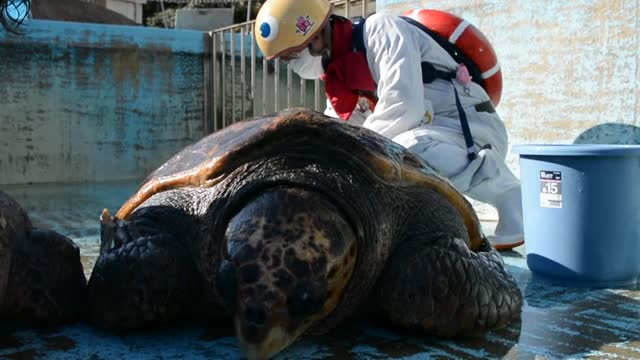 video footage taken on dec. 10 in minami, tokushima prefecture, shows the staff at the hiwasa chelonian museum caretta giving a year-end scrubbing... - sea turtle stock videos & royalty-free footage