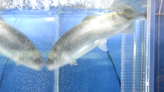 "Video footage taken on Dec 14 at the Fuji Spring Water Aquarium in Oshino Yamanashi Prefecture shows a ""Fujinosuke"" king salmon and rainbow trout..."