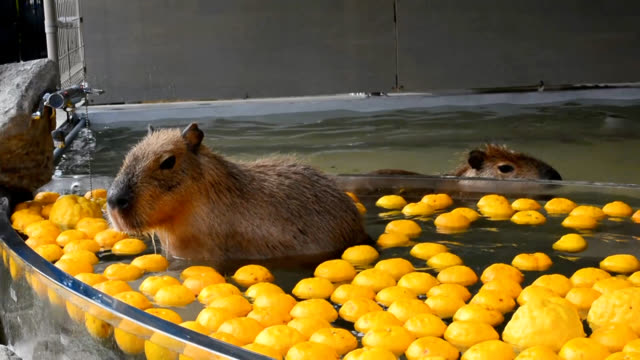 video footage taken on dec 22 at the himeji central park zoo and amusement facility in himeji hyogo prefecture shows capybara cautiously entering a... - central park zoo stock-videos und b-roll-filmmaterial