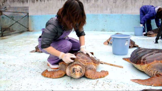 video footage taken on dec 8 at the hiwasa umigame hakubutsukan caretta facility in minami tokushima prefecture shows keepers giving its loggerhead... - chelonioidea stock-videos und b-roll-filmmaterial
