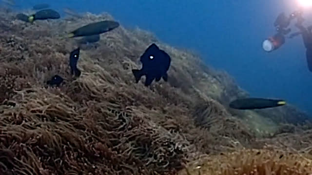 video footage taken on dec. 8 shows one-year-old specimens of threespot dascyllus surviving in waters off awashima island in numazu, shizuoka... - 生存点の映像素材/bロール