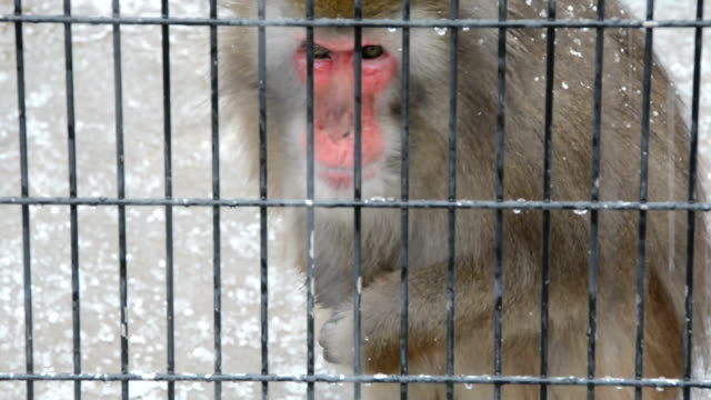 stockvideo's en b-roll-footage met video footage taken on december 13 japanat shinkyoji park a zoo in tottori shows a japanese macaque picking at snow falling into its enclosure... - omsloten ruimte