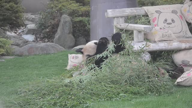vídeos y material grabado en eventos de stock de video footage taken on feb. 14 at the shirahama adventure world nature theme park in shirahama, wakayama prefecture, shows a giant panda enjoying his... - cojín