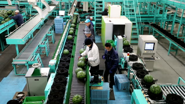 """video footage taken on feb 27 in kumamoto taken shows hundreds of """"odama suika"""" watermelons being readied by local farmers at a sorting facility in... - agricultural cooperative stock videos and b-roll footage"""