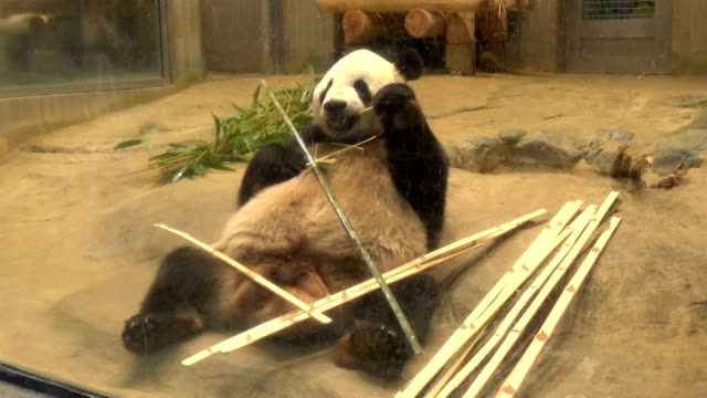 vídeos y material grabado en eventos de stock de video footage taken on june 13 japan in the ueno district of tokyo's taito ward shows the crowd of admirers who arrived at ueno zoo early to catch a... - panda animal