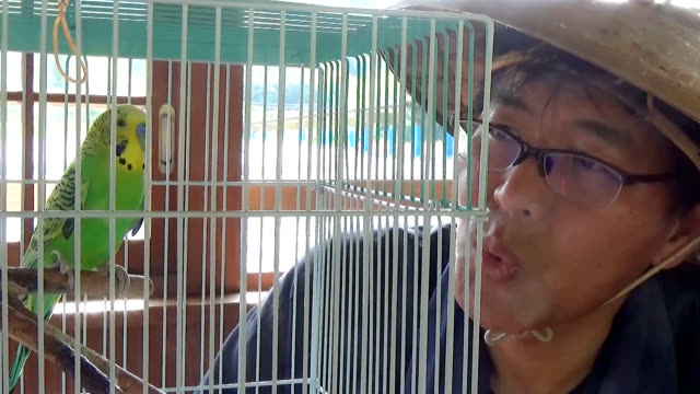vídeos de stock, filmes e b-roll de video footage taken on june 5 in shimanto, kochi prefecture shows a once-injured green budgerigar that has found a home for itself with a family... - periquito comum