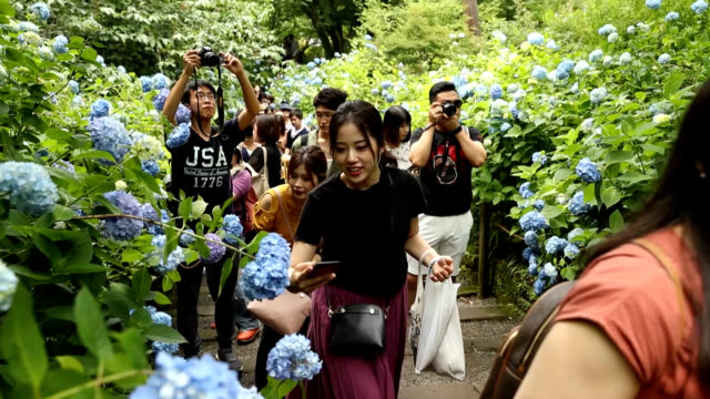 "video footage taken on june 8 at meigetsuin temple in kamakura kanagawa prefecture shows visitors strolling through the thousands of blue ""ajisai""... - 訪問点の映像素材/bロール"