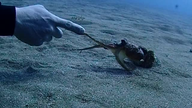 """video footage taken on march 4 shows a """"mejirodako"""" octopus marginatus, also known as coconut octopus, interacting with a diver 15 meters underwater... - animal shell stock videos & royalty-free footage"""