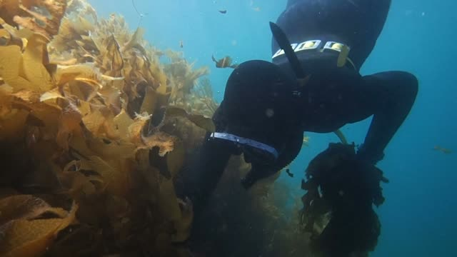 "Video footage taken on May 23Japan shows a team of two ""ama"" female divers working from Tottori's Fukube district setting out to gather edible..."