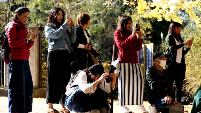 "video footage taken on nov 16 shows visitors to showa kinen park in western tokyo strolling among and pausing for photos amid rows of ""icho"" gingko... - ginkgobaum stock-videos und b-roll-filmmaterial"