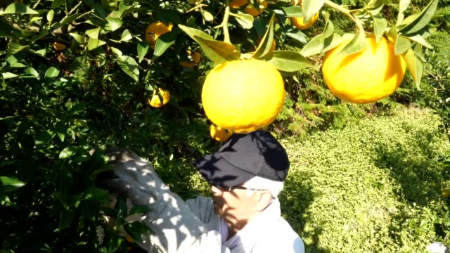 "video footage taken on nov 8 in the kito district of naka tokushima prefecture shows the region's ""kitoyuzu"" citrons being picked and readied for... - tokushima prefecture stock videos & royalty-free footage"