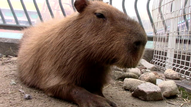 Video footage taken on November 7Japan shows capybaras large rodents endemic to South America and uninured to the cold slipping into an outdoor...