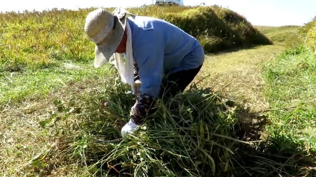 video footage taken on oct 25 in aso kumamoto prefecture shows an elderly farming couple making haystacks in the outer ring grassland on the northern... - hay stack stock videos & royalty-free footage
