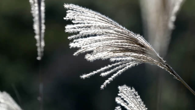 """video footage taken on oct 28 shows """"susuki"""" japanese pampas grass spread across hilly fields in soni nara prefecture considered one of the best... - nara prefecture stock videos and b-roll footage"""