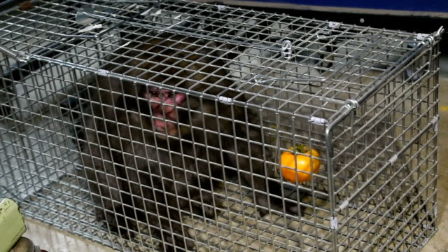 Video footage taken on Oct 29 at a Saitama junior high school gymnasium shows a monkey trying to evade capture after a trap set up inside failed to...