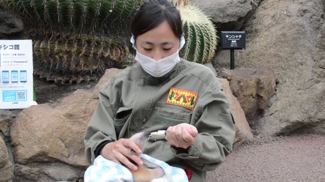 video footage taken on sept. 17 at the izu shaboten zoo in ito, shizuoka prefecture, shows a newborn southern tamandua , also called the collared... - アリクイ点の映像素材/bロール