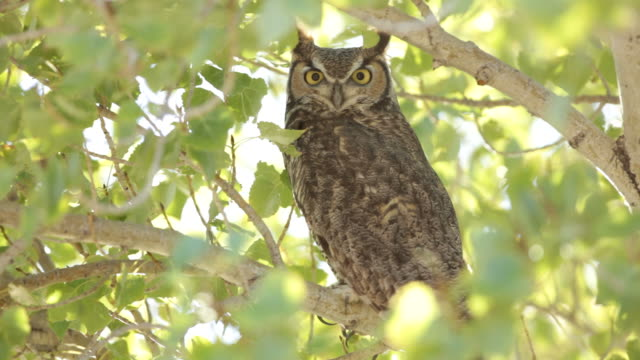 hd video great horned owl in cottonwood tree arizona - cottonwood tree stock videos and b-roll footage